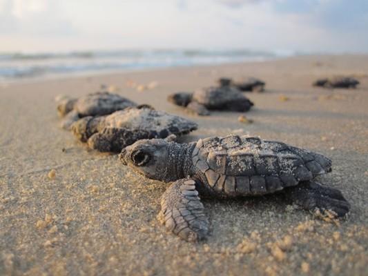 liberacion_tortugas